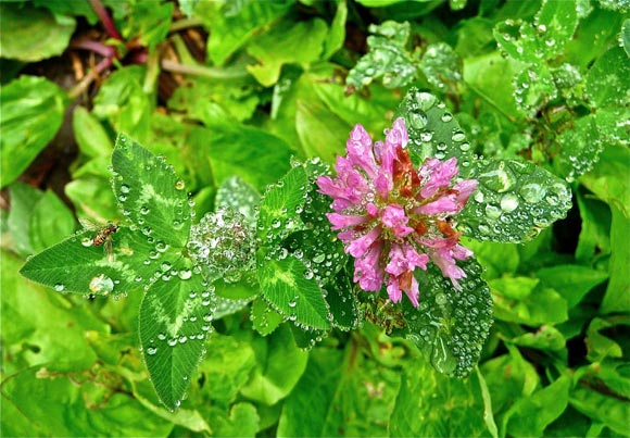 Clover & Bee, Raindrops - Photo by Susie Krause